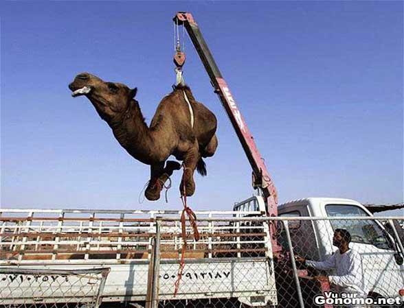 Un chameau suspendu a une grue est decharge d un camion
