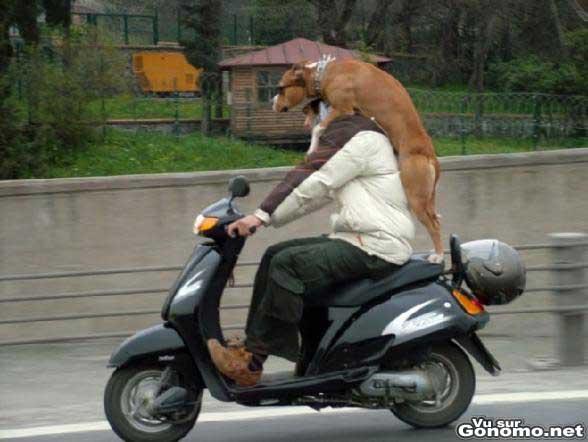 Un vrai rider ce chien debout sur la place passager d un scooter