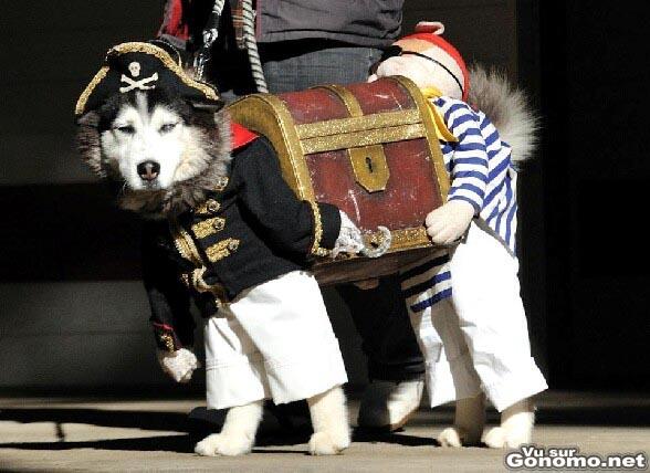 Costume pour chien : un chien deguise en pirate transportant son tresor. Vraiment excellent !