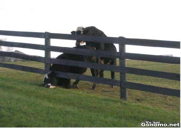 Une pauvre vache la tete coincee aurait bien voulu qu on l aide plutot qu on lui grimpe dessus :p