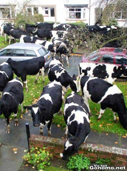 Une invasion de vaches !