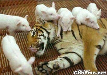Des mignons petits cochons montent sur le dos d une maman tigre