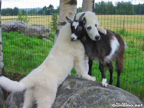 C est l amour fou entre ce chien et cette chevre. Trop mignon comme on dit !