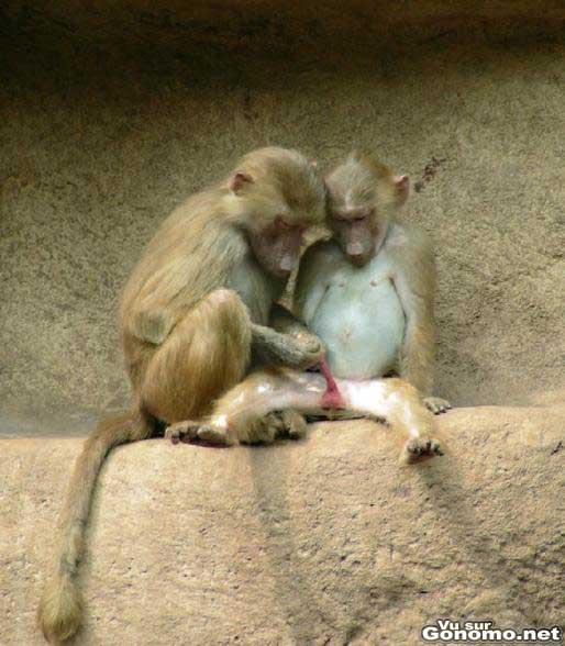 L education sexuelle chez les singes