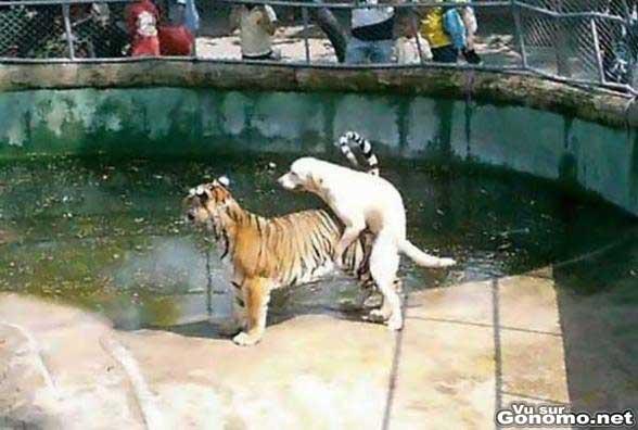 Un chien qui aimerait bien se taper un tigre !