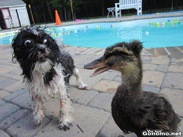 Oh My God ! Quel stupeur dans le regard de ce chien fixant ce canard