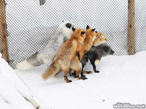 Une partouze de renards ??