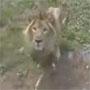 Lion Vs Enfant : pour ceux qui disent que les animaux ne font rien quand on va les voir au zoo ...