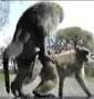 Pas pudiques ces singes !