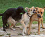 Un chien profite d une bagarre entre deux de ses congeneres pour soulager ses envies ! :)