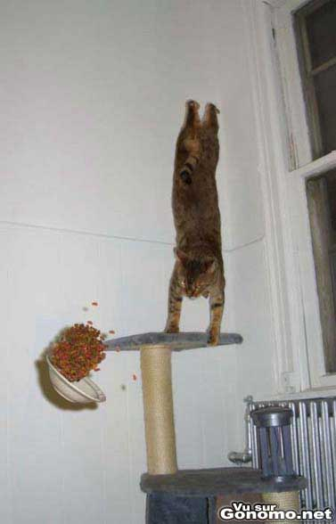 Un chat qui saute sur son arbre a chat et renverse toutes ses croquettes