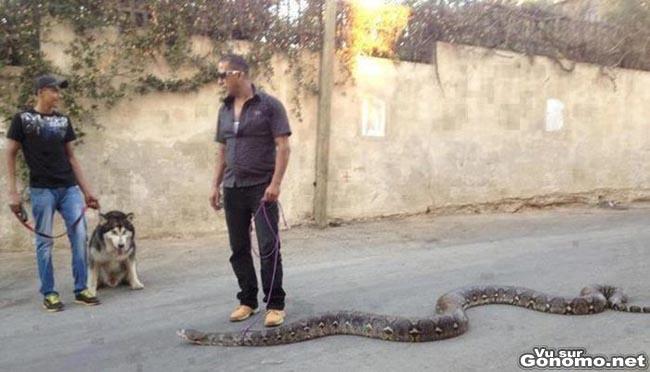 Il promene son anaconda de 6 metres en laisse dans la rue comme si c etait son chien !