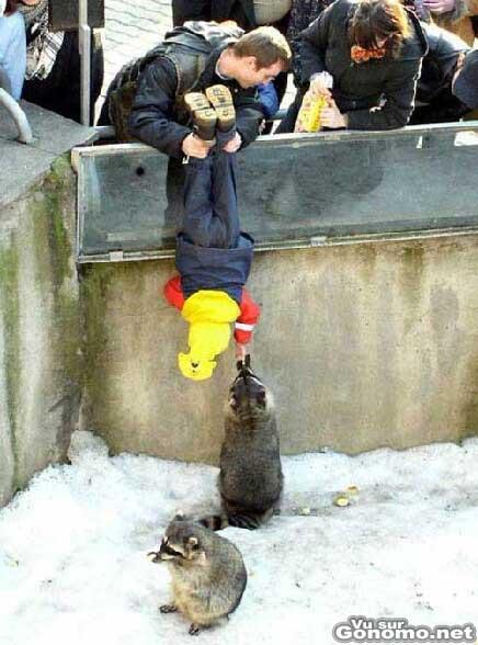 Il suspend son fils par les pieds dans la fosse aux ... ratons laveurs :)