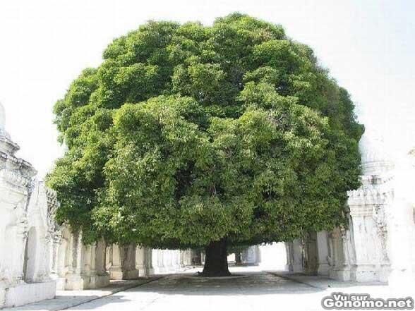 Un magnifique arbre tres imposant au milieu d une allee