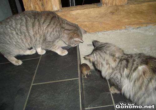 Deux chats qui coincent une souris dans un coin