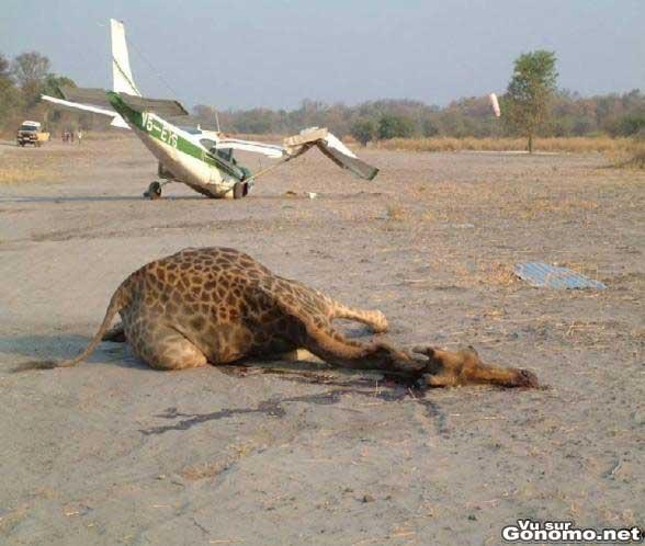 Avion Vs girafe !
