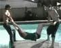 No balls !! Il s explose les burnes sur le bord de la piscine ! :)